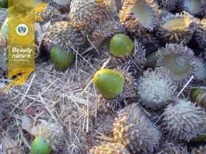جمع آوری بلوط سبز برای بذرکاری