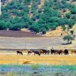 کشاورزان روستای نچی
