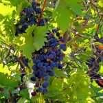 باغ انگور از روستای سرنژمار