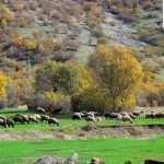 پرورش گله و گوسفندان در پاییز آذری